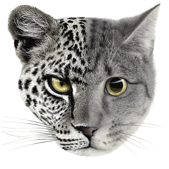 Audi S7 cat leopard