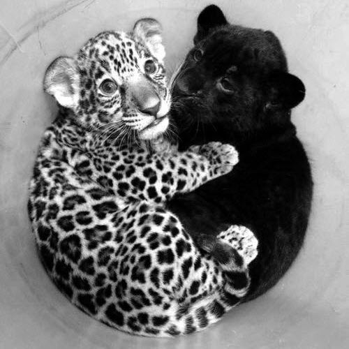 Baby leopard and jaguar