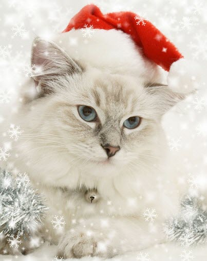 Christmas white cat