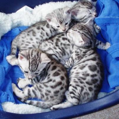 Silver Bengal Kittens.