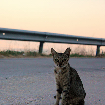 Wild cat on freeway