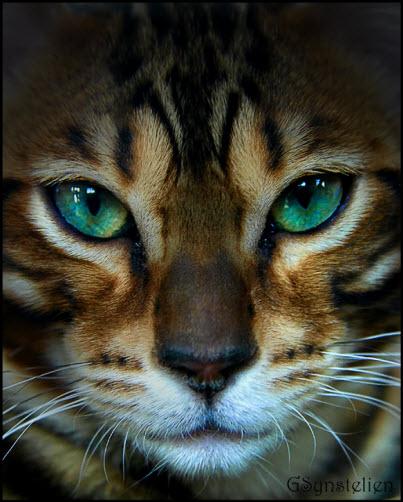 beautiful bengal green eye