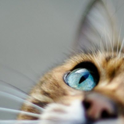 blue eye cat closeup