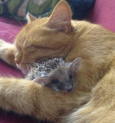 cat hedgehog