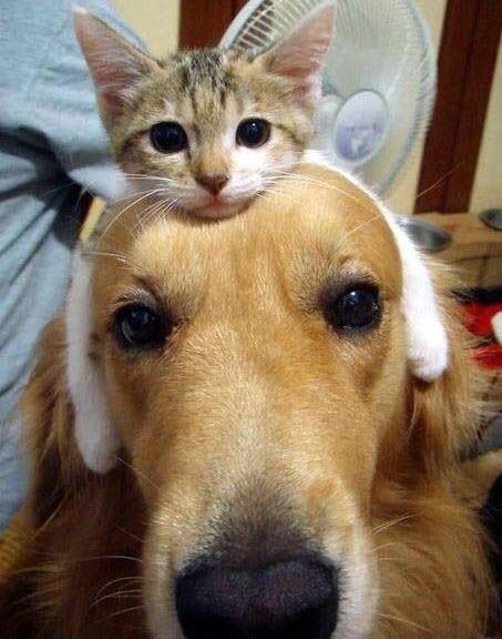 cat on dog head