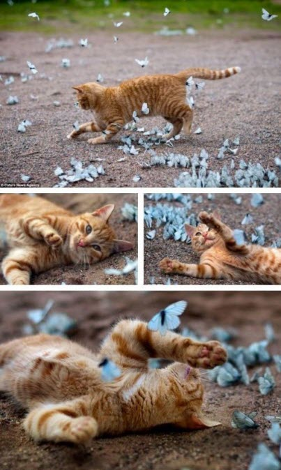 cat with butterflies
