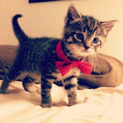 christmas kitten bow