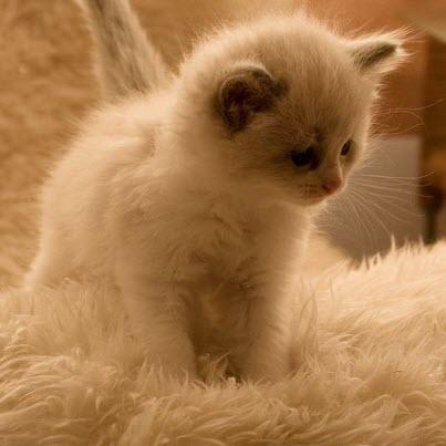 furball kitten