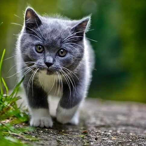 grey kitten walking