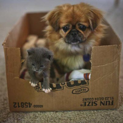 kitten and puppy in box
