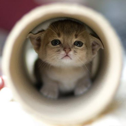 kitten in roll