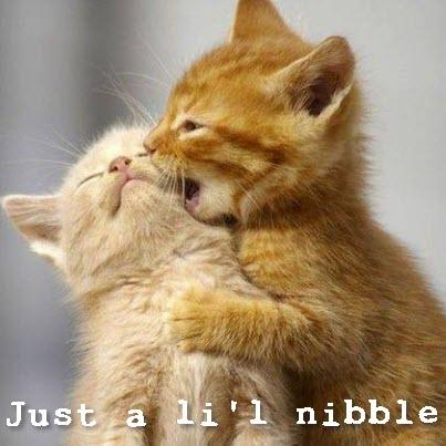 kitten nibble