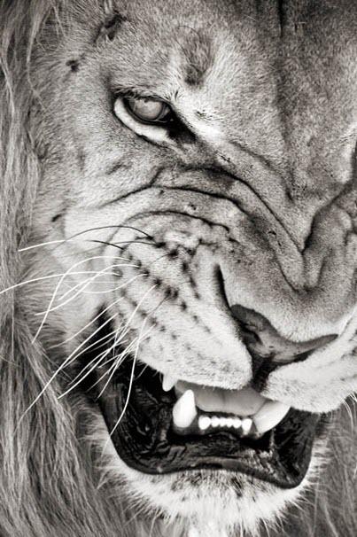 no messing lion