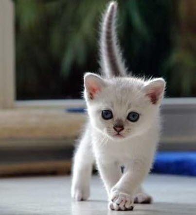 pure white kitten