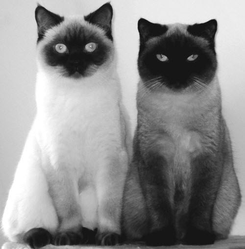 siamese cat pair