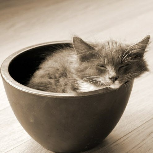 smoky kitten in bowl
