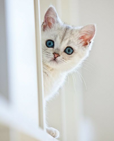 white kitten blue eyes