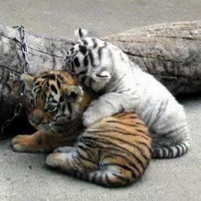 2 tiger cubs