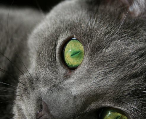 Green eyed grey cat