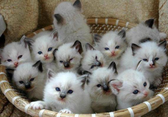 Himalyan kittens