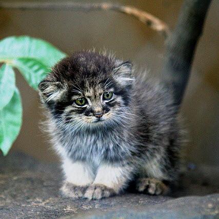 Pallas Cat large