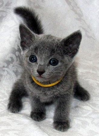 Smoky grey kitten