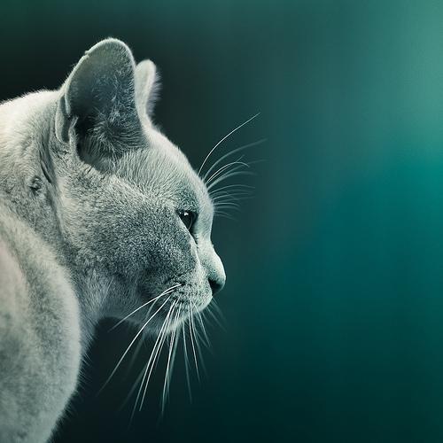 Turquoise Cat