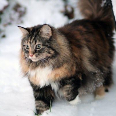 amazing forest cat