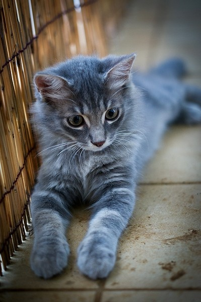 beautiful blue kitten