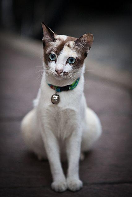 beautiful white and broen cat