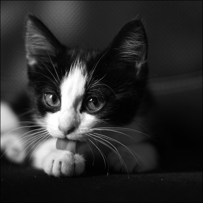black and white kitten lick