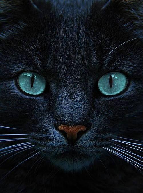 black grey blue cat