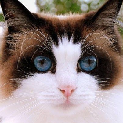 blue beauty cat
