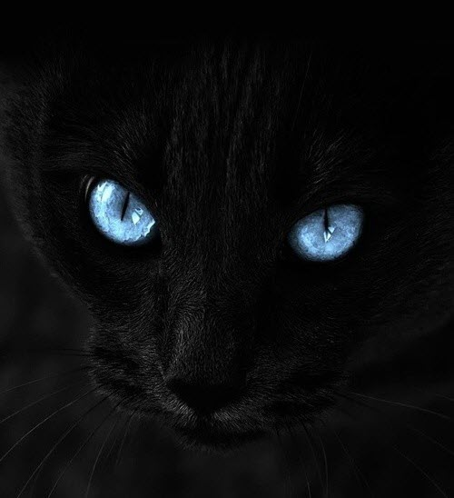 blue eye black cat