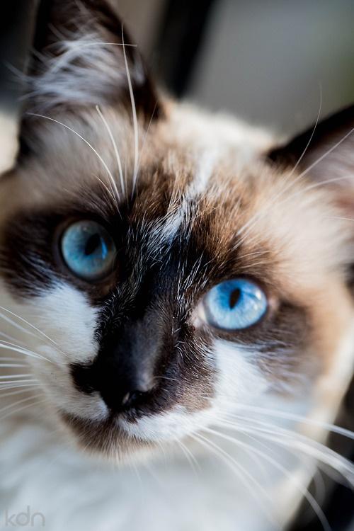 blue eyes mottled cat