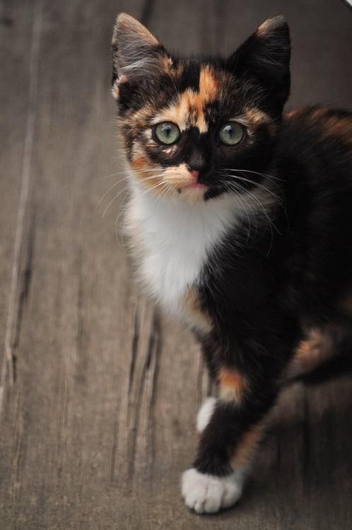 calico beauty