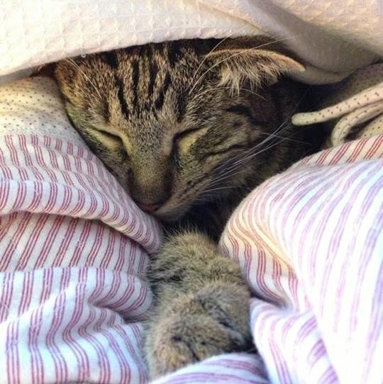 cat under the covers