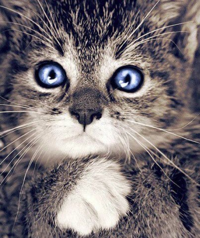 crazy blue eyes cat