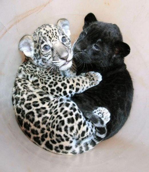 cuddling jaguar panther