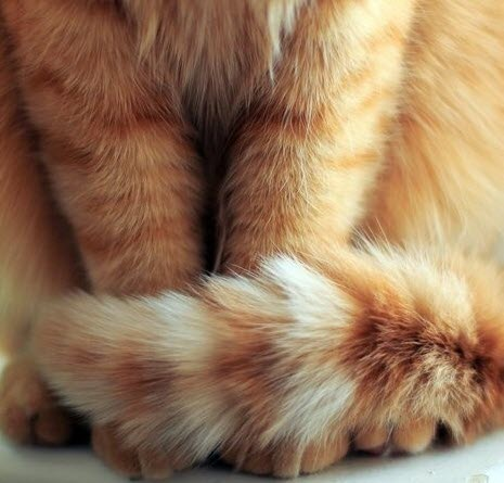 ginger tail