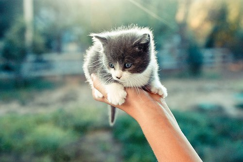 grey and white kitten in hand