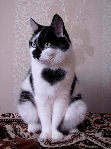 heart chest cat
