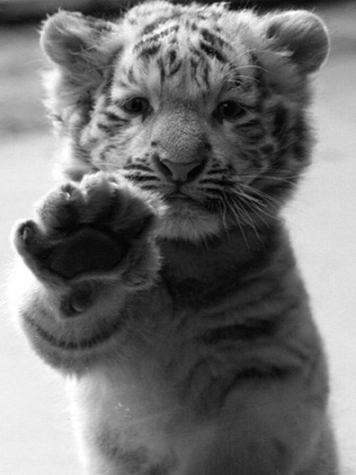 hi five tiger