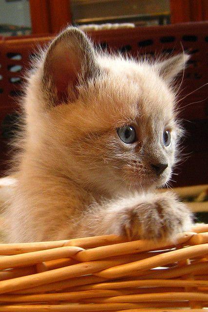 kitten light brown