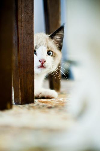 kitten peer