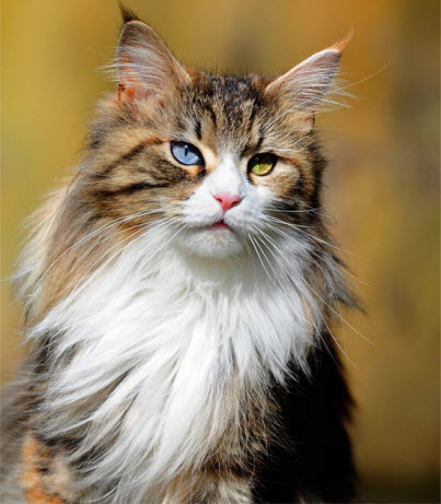 maine coon mixed eyes