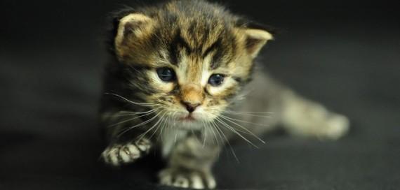 maine coone kitten