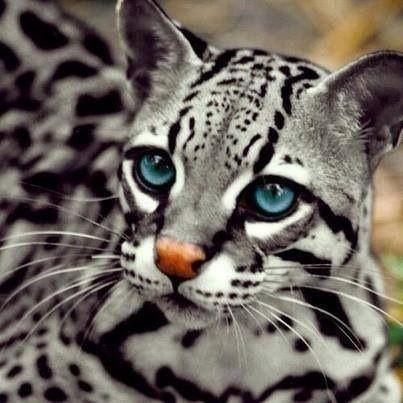 ocelot eyes