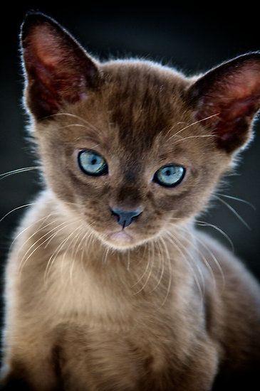 opal eyed kitten
