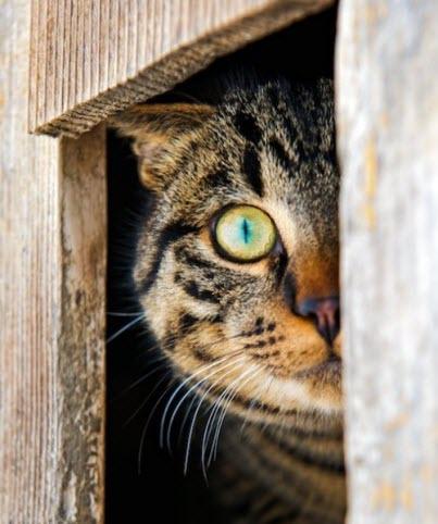 peeking tabby